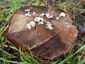 Schizophylle-commun-1-300x225 dans Mycologie: les champignons en photos