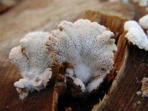 Schizophylle commun dans Mycologie: les champignons en photos Schizophylle-commun-300x225