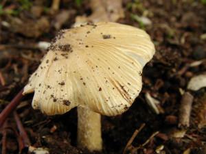 inocybe-fastigié-300x225 dans Mycologie: les champignons en photos