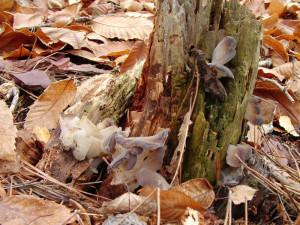 Hydne Gélatineux dans Mycologie: les champignons en photos pseudohydne-gélatineux-300x225